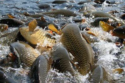 vyraschivanie ryby