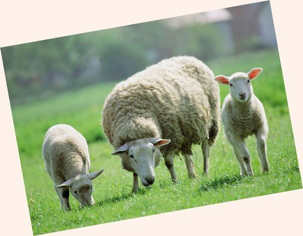 ovcevodstvo