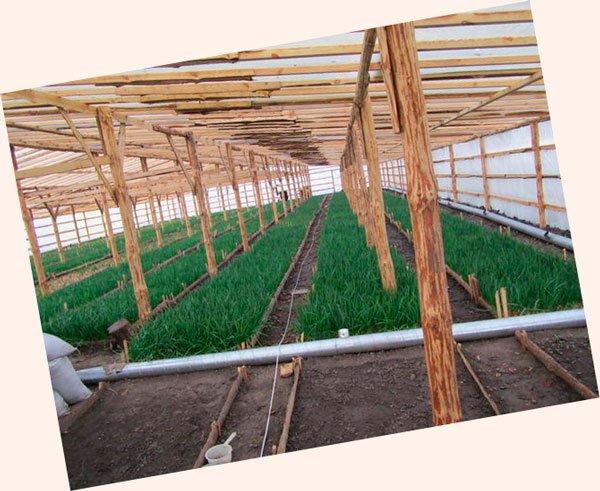 Бизнес план выращивания зеленого лука