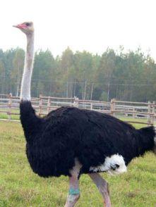 Бизнес план страусиной фермы