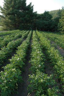 Бизнес план по выращиванию картофеля