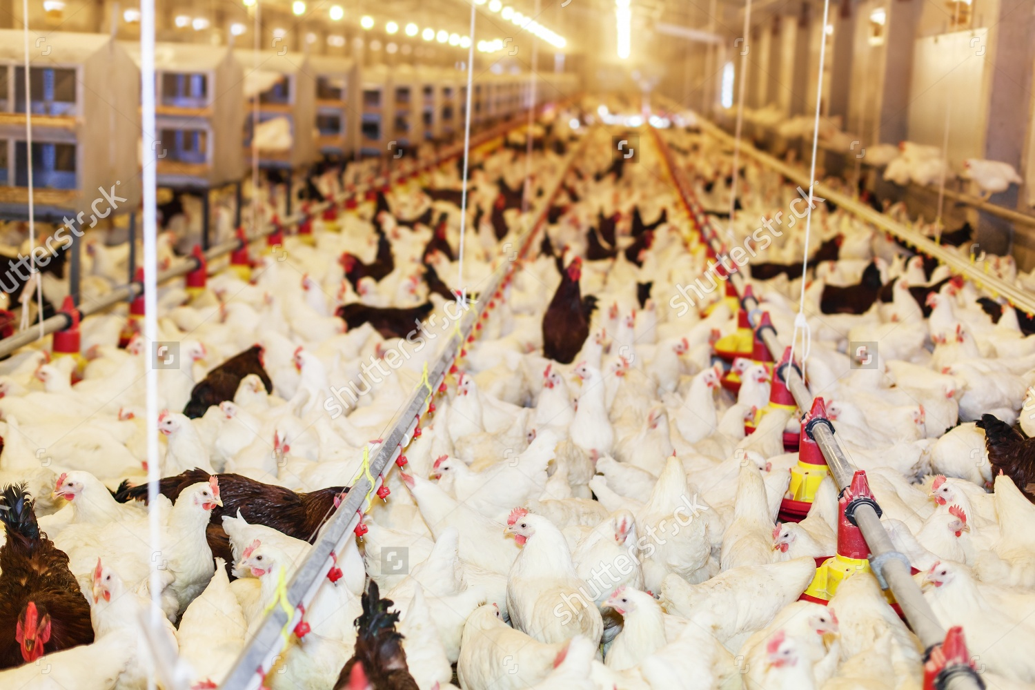 stock photo modern chicken farm production of white meat shallow doff