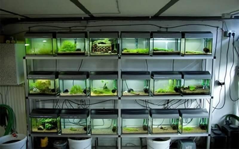 Разведение аквариумных креветок на продажу
