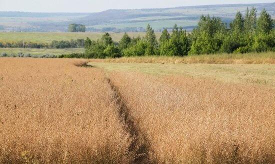 Фермерский бизнес - выращивание рыжика