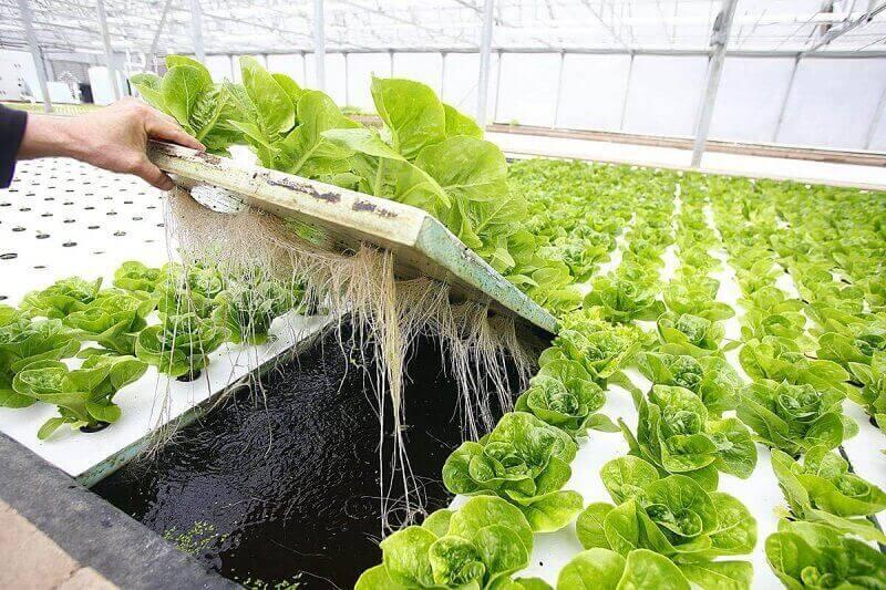 Бизнес на выращивании салата - 200 000 руб прибыли с 1 гектара