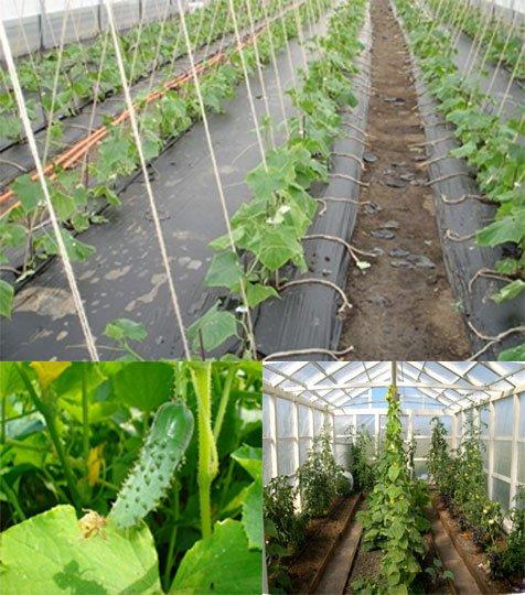 Бизнес на выращивании огурцов в теплице