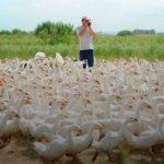 Мини гусиная ферма — как заработать миллион на разведение гусей