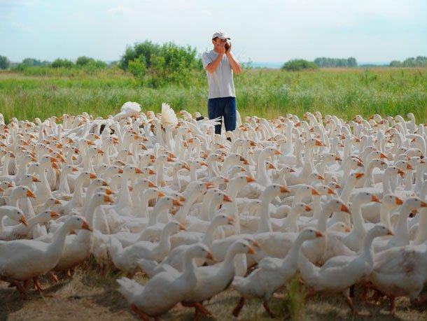 Мини гусиная ферма - как заработать миллион на разведении гусей