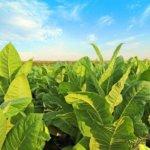 Бизнес на выращивании пекинской капусты