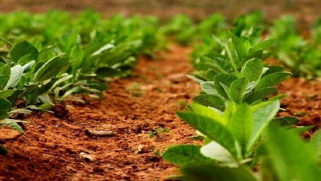 Выращивание табака на продажу как бизнес